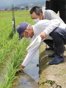 写真=サキホコレを栽培するほ場で生育状況を確認する参加者